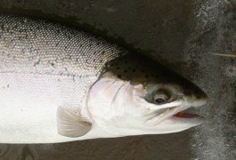 Steelhead Fishing in Pennsylvania